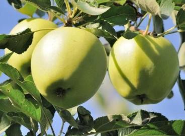 Яблоня Аркад сахарный: особенности сорта и ухода