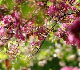Что посадить рядом с яблоней: совместимость с другими деревьями и кустарниками