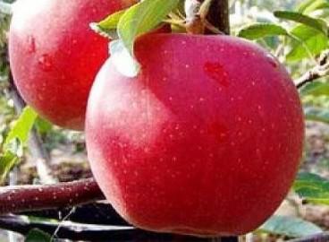 Яблоня Гала маст: особенности сорта и ухода