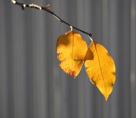 Что делать, если желтеют листья на яблоне