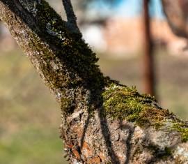 Мох на яблоне: как избавиться своими силами