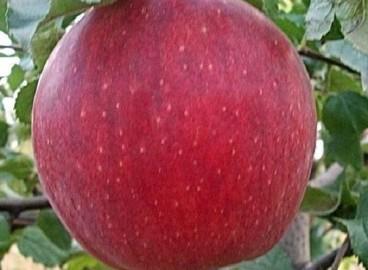 Яблоня Джонаголд: особенности сорта и ухода
