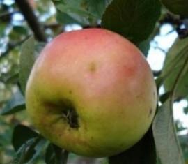 Яблоня Аленушка: особенности сорта и ухода