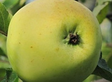 Яблоня Россиянка: особенности сорта и ухода