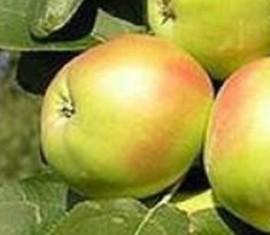 Яблоня Икша: особенности сорта и ухода