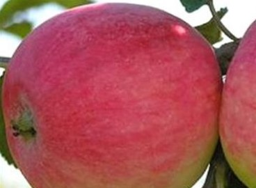 Яблоня Миасское: особенности сорта и ухода