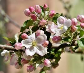 Посадка яблони весной и осенью в Подмосковье: выбор сорта и правила по уходу