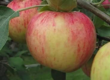 Яблоня Яблочный спас: особенности сорта и ухода