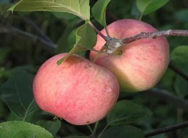 Яблоня Румянка свердловская: особенности сорта и ухода