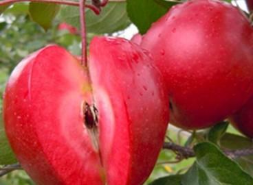 Яблоня Эра: особенности сорта и ухода