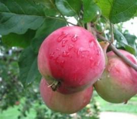 Яблоня Брянское: особенности сорта и ухода