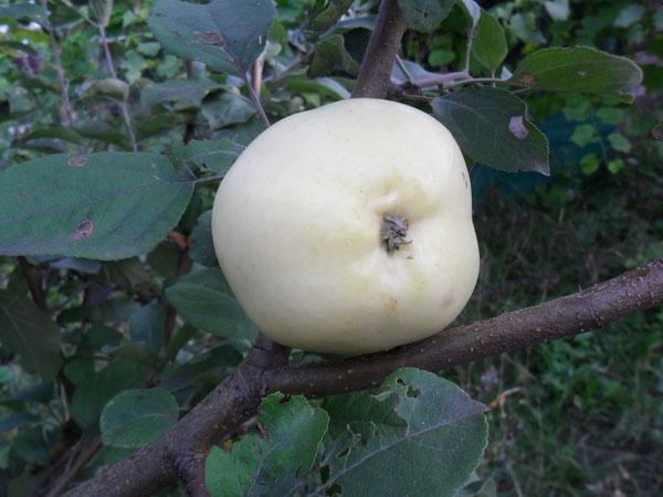 Как укрыть яблони на зиму - укрытия для молодых и взрослых деревьев