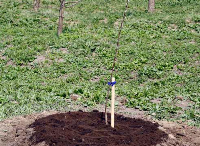 колышек для укрепления дерева