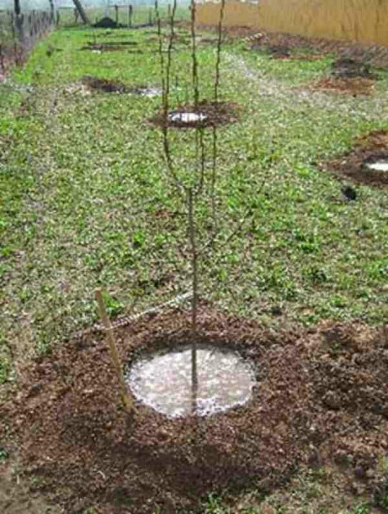 полив посаженной яблоньки осенью