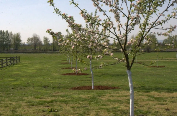 Посадка яблони весной в открытый грунт: пошаговая инструкция, когда и как сажать саженцы