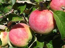 Яблоня Сурхурай: особенности сорта и ухода