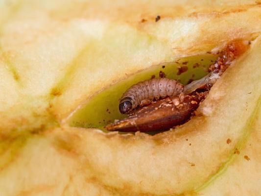 яблоневая плодожорка на яблоке