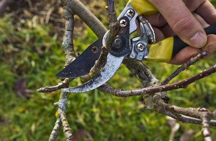 Карликовая яблоня: руководство по посадке и уходу для хорошего урожая
