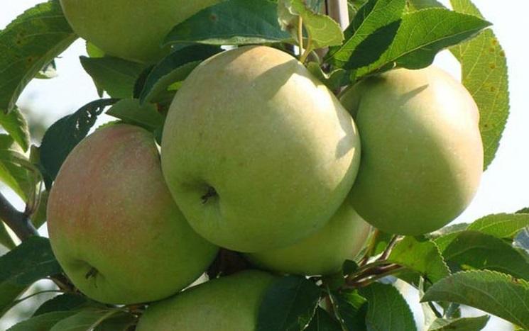 эффективной сорт яблони ломоносовское фото и описание сорта обсуждаемая средствах массовой