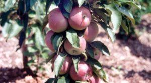 Яблоня Гейзер: особенности сорта и ухода