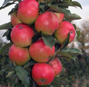 Яблоня Останкино: особенности сорта и ухода