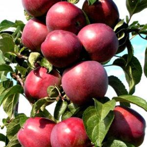 Яблоня Червонец: особенности сорта и ухода