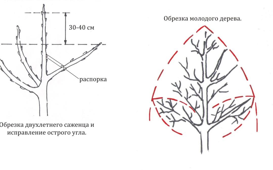 Правила обрезки яблони летом: инструкция для начинающих