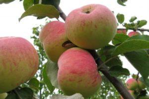 Яблоня Подарок садоводам: особенности сорта и ухода