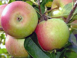 Яблоня Зеленый шум: особенности сорта и ухода