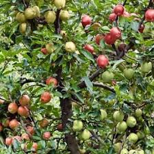 Яблоня Надежное: особенности сорта и ухода