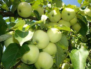 Яблоня Зеленка сочная: особенности сорта и ухода