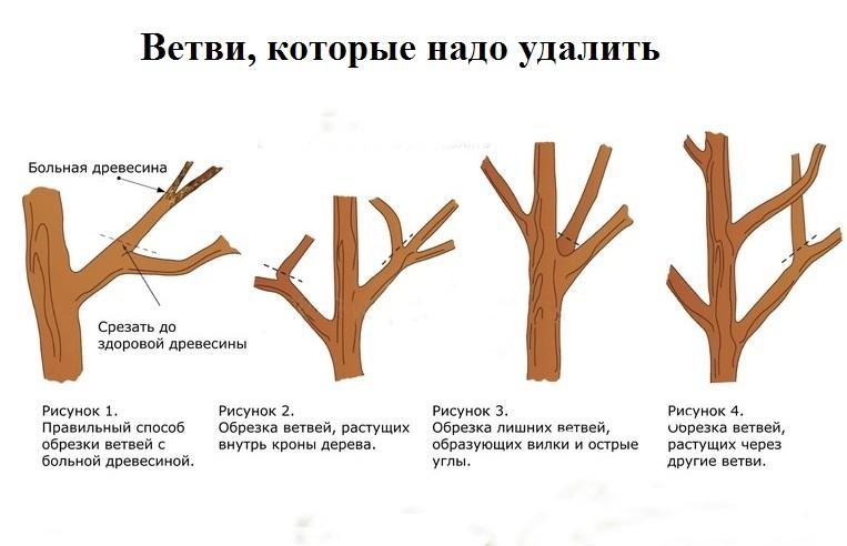 Как правильно обрезать яблоню осенью: схема обрезки, выбор времени, советы для начинающих