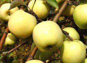 Яблоня Подарок осени: особенности сорта и ухода