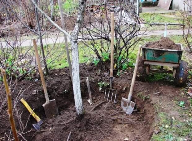 Как пересадить взрослую яблоню на новое место без вреда