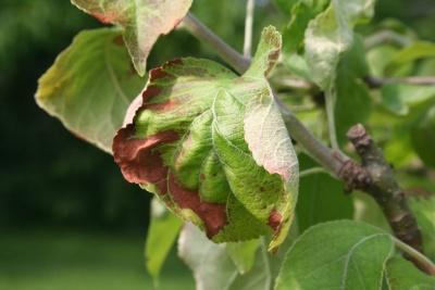Ржавчина на листьях яблони: как бороться с ржавыми пятнами и чем лечить дерево