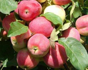 Яблоня Смугляночка: особенности сорта и ухода