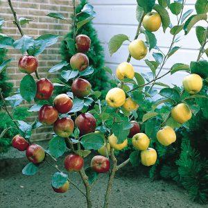 Яблоня Ревена: особенности сорта и ухода