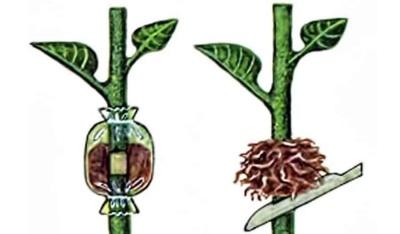 Размножение яблони воздушными отводками: укореняем ветку на дереве