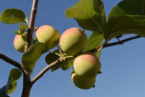 Яблоня Молодежное: особенности сорта и ухода