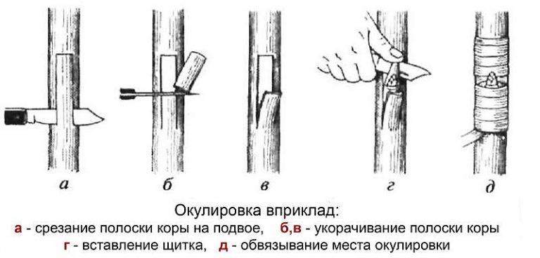 Окулировка яблони: подробная инструкция для начинающих