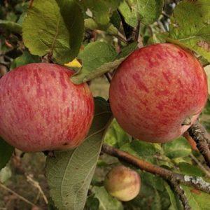 Яблоня Россошанское полосатое: особенности сорта и ухода