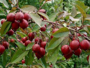 Яблоня Маковецкого: особенности сорта и ухода
