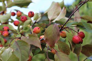 Яблоня Рудольф: особенности сорта и ухода