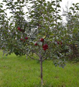 Яблоня Китайка Керр: особенности сорта и ухода