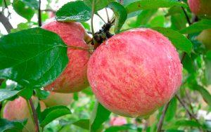 Яблоня Коричное новое: особенности сорта и ухода