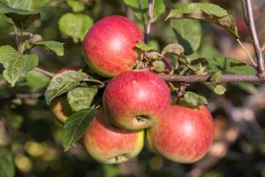 Яблоня Степная красавица: особенности сорта и ухода