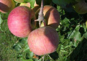 Яблоня Брянское розовое: особенности сорта и ухода