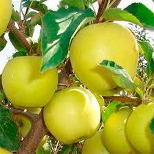 Яблоня Аркад желтый: особенности сорта и ухода