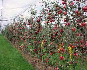 Яблоня Ред Кетти: особенности сорта и ухода