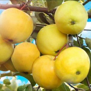 Яблоня Алтайское янтарное: особенности сорта и ухода